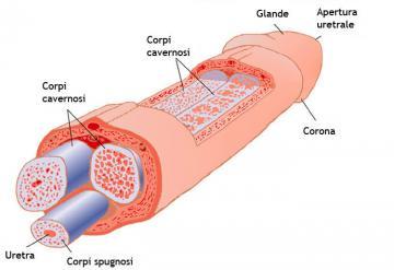 Anatomia del pene: com'è fatto