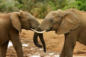 Africa, preservativi per salvare gli elefanti