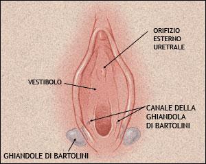 Le ghiandole di Bartolini