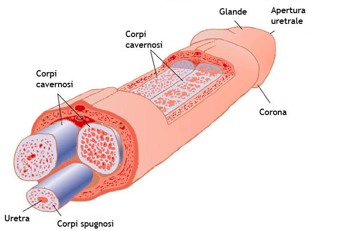 struttura interna del pene